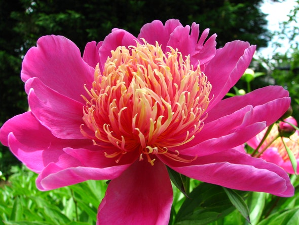 <p>Peony Collection</p>