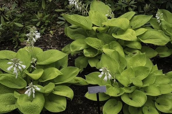 National Hosta Display Garden