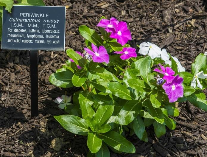 <p>Medicinal Plant Garden</p>