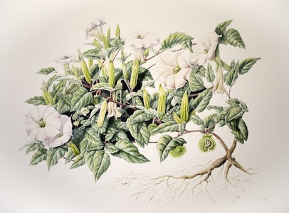Contemporary Botanical Illustration